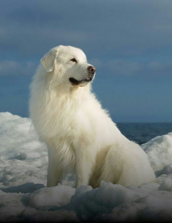Great Pyrenees.  GREAT dog. Obedient, good guard dog. Loves children, great for families.