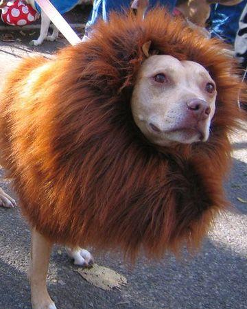 Deguisement halloween pour chien vous avez trouv votre costume mais qu 39 en est il de celui de - Deguisement halloween chien ...
