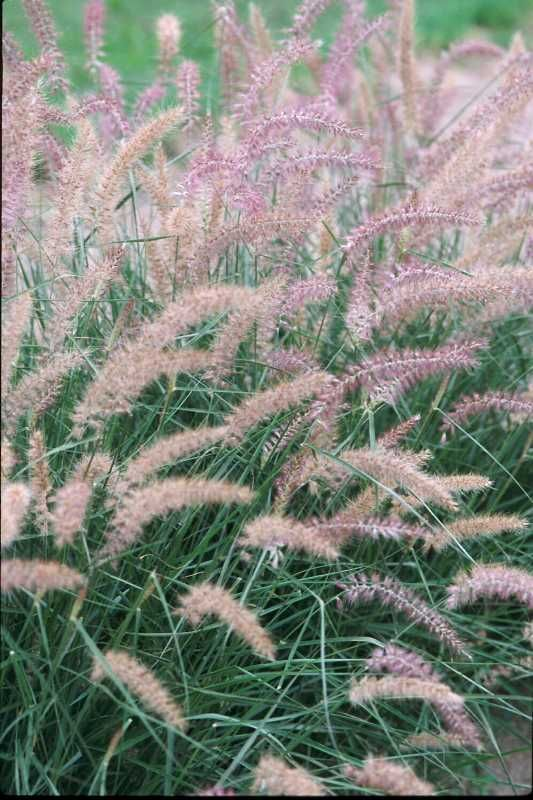 Pennisetum orientale 39 karley rose 39 oriental fountain grass for Tall oriental grass