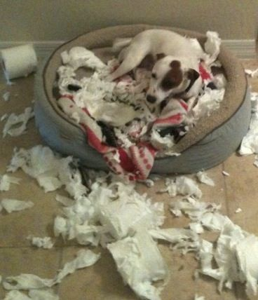 Jack Russell paper shredder...it is a tough job, but someone has to do it!: