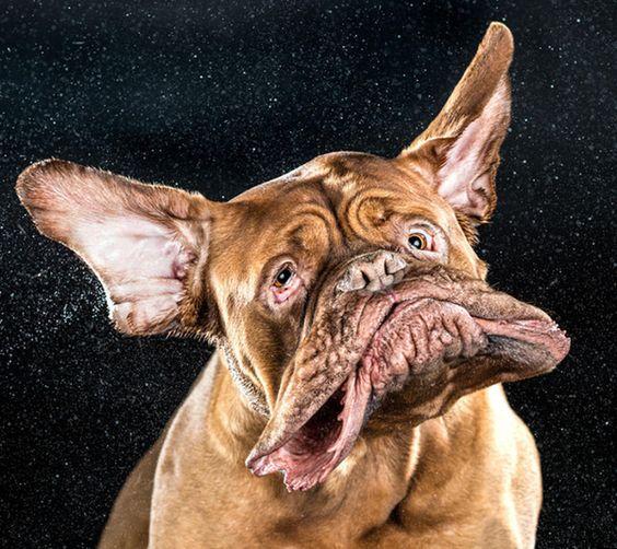 顔を振る犬の衝撃画像 1