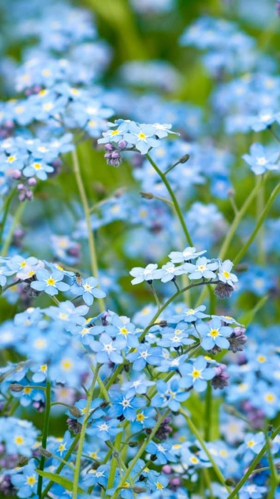 Download Wallpaper 720x1280 Flowers, Bloom, Background, Blue Samsung Galaxy S3 HD Background