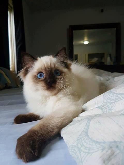 Seal Point Ragdoll Kitten My Kitty Cat Scottishfold Ragdoll Kitten Ragdoll Cat Cat Care