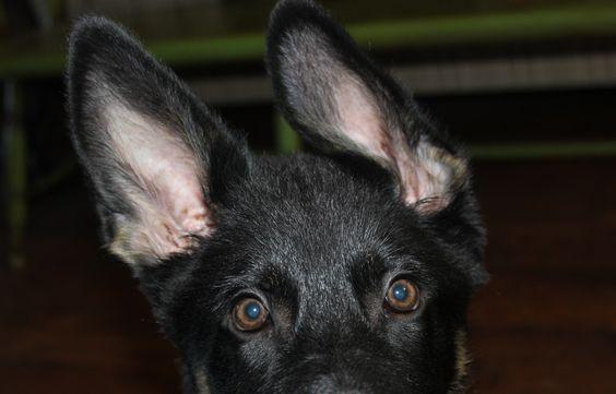 Black German shepherd puppy- his ear falls like Denver's!  Love my shepherd/lab mix
