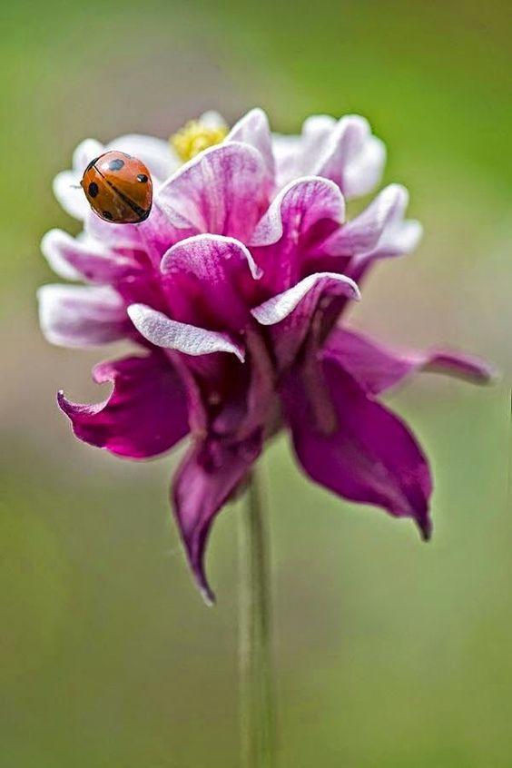 Ladybug on Pink and White Flower