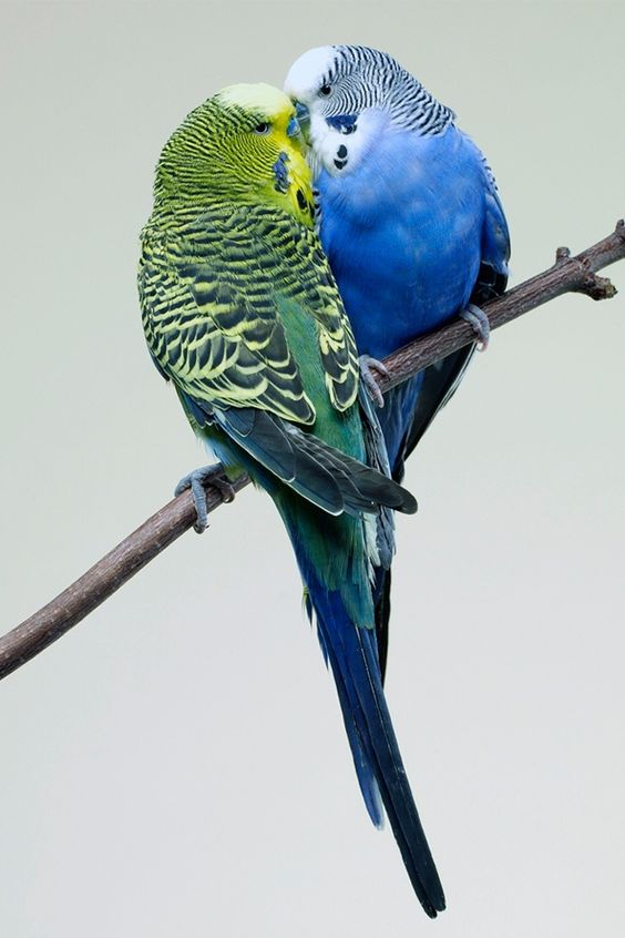 these two are the same colors as my 2 parakeets growing up. <3