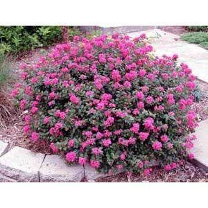 1 Gallon Pocomoke Dwarf Crape Myrtle Purple Pink Flowers Unique Dwarf Shrub Also Cold Hardy C Flowering Bushes Colorful Landscaping Dwarf Flowering Shrubs