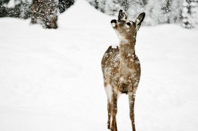 cute, deer, fawn, nature, pretty, snow