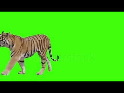 50 Best Tiger Video Green Screen Video Backgrounds