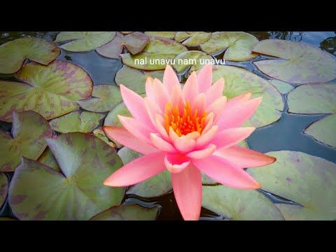 வ ட ட ல அல ல க ட வளர ப பத எப பட How To Plant Water Lily In Garden Pond Tamil Youtube In 2020 Water Plants Plants Water Lily