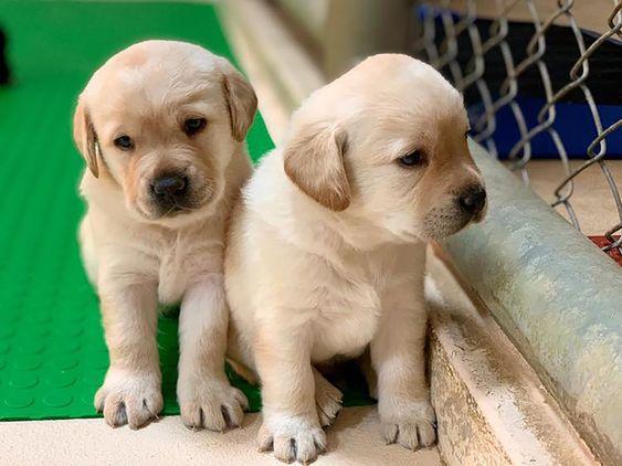 5隻超萌緝毒犬寶寶海關徵求寄養家庭 Lab Puppies Labrador Retriever