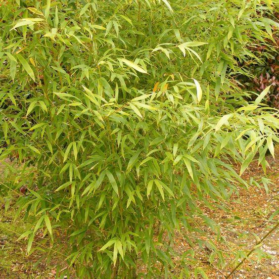 Phyllostachys aurea - Bambou doré