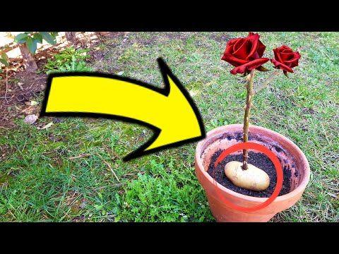 Olvida Las Hormonas Como Enraizar Una Rosa Ya Cortada Con Papa Plantar Rosas Sin Raíz Funciona Youtube Plantar Rosas Plantar Rosales Plantar