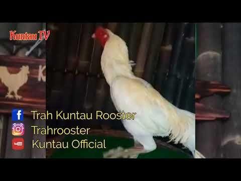 Foto Ayam Siam Super Ayam Bangkok Super Siam Gaishe Monster Youtube Hewan Monster
