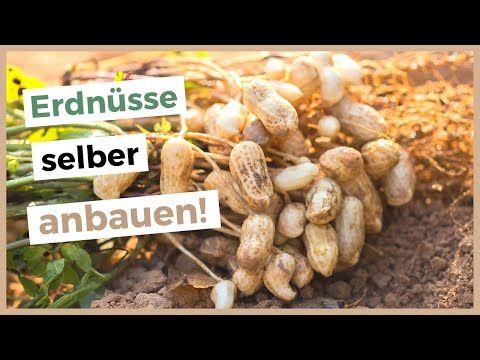 Erdnuss Pflanzen Selber Ziehen Erdnusse In Deutschland Anbauen Wurzelwerk In 2020 Erdnuss Birnen Bohnen Und Speck Fruchte Und Gemuse