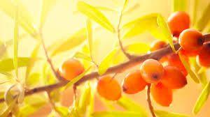 Cosa viene a mancare nell'organismo vivente nei giorni in cui le preziose proprietà del sole vengono meno? Il calore e la luce. Il bambino vive sovente questa condizione come perdita di vitalità, di volontà, di gioia. Le sue forze si indeboliscono e si manifestano in lui disagi senza un nome ben preciso. Ecco che la generosità della Natura ci viene incontro, ridonando al nostro organismo di calore la vita attraverso piccole bacche che racchiudono la forza del sole - Olivello Spinoso.