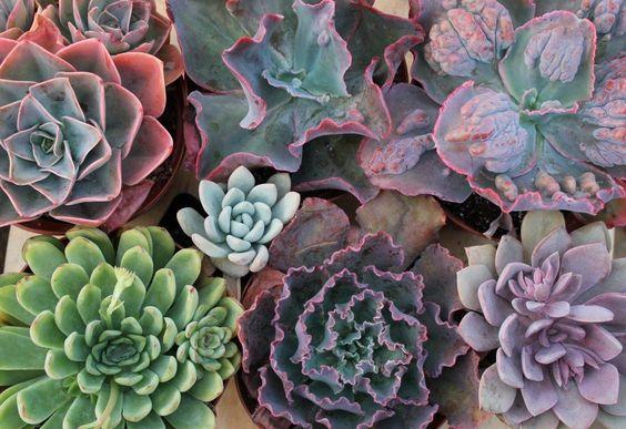 """6"""" Echeverias Succulent bulk wholesale wedding Favor gifts at the succulent source - 7:"""