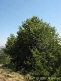 roble chileno: Search, Trees, Roble Chileno