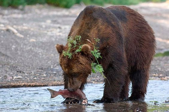 SERGEY GORSHKOV-PHOTOGRAPHER  Welcome to Russia! Kamchatka. Bear