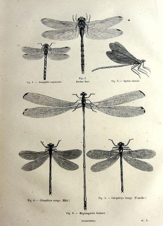 Imprimer des libellules antiques, original 1860