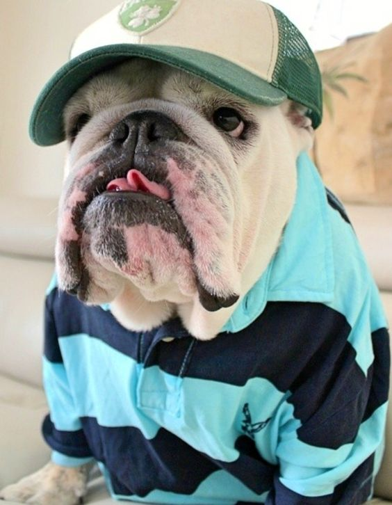 English Bulldog| he looks just like a little old man: