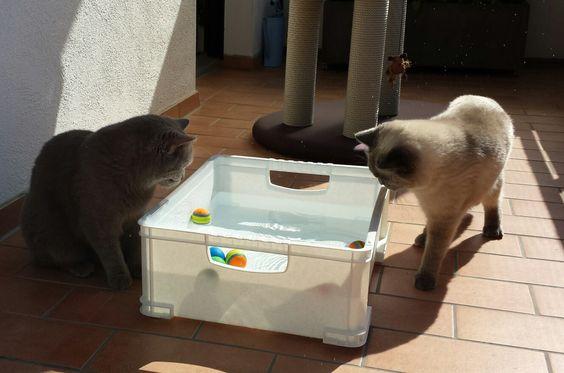 Katzen-Pool, Britisch Kurzhaar, BKH