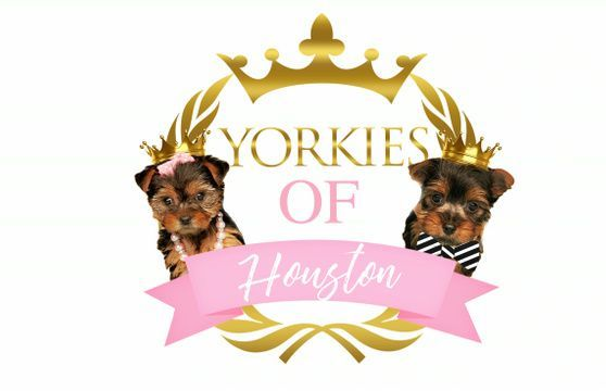 Pin By Beatriz Alfaro On Betty With Images Yorkie Puppy