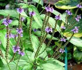 Verveine Officinale <i>(Verbena Officinalis)</i>