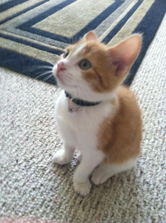Cuando este gatito usó una sorpresa alrededor de su cuello. | Las 50 cosas más románticas que han pasado