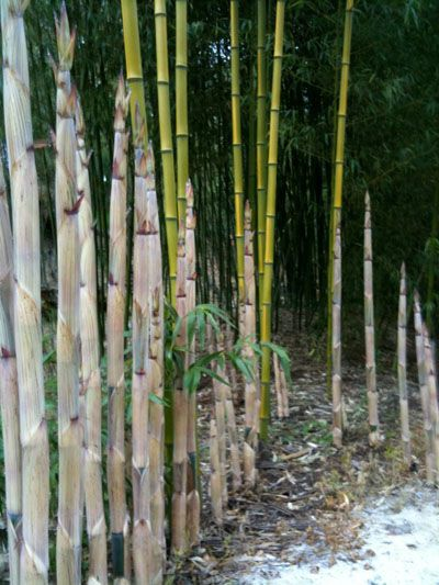 Giant Bamboo Shoots in Spring Info: About Giant Bamboo: