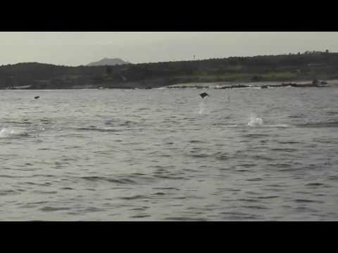 Have you ever seen REAL flying fish! Get free video at http://FreeAnimalVideo.org