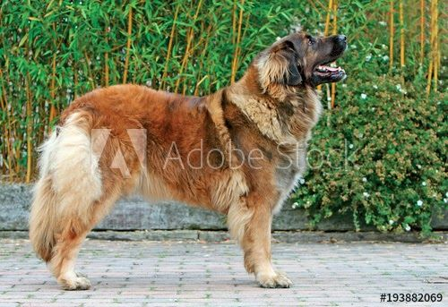 All Leonberger Found Here Are From Akc Registered Parents Look