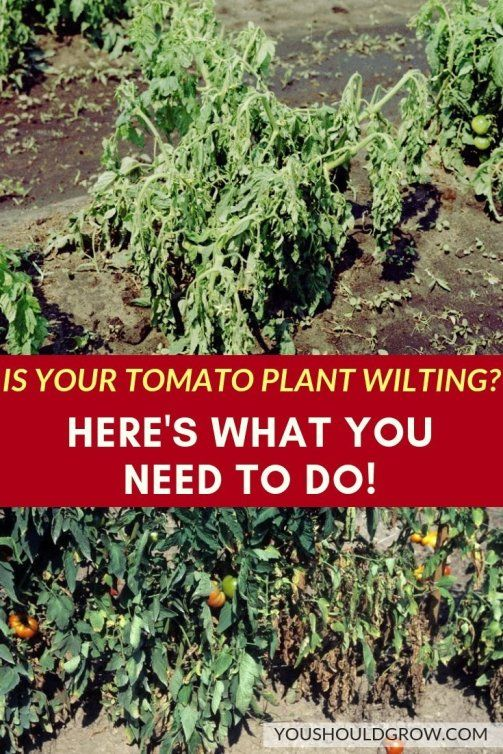 What To Do If Your Tomato Plant Wilts Watering Tomatoes Organic