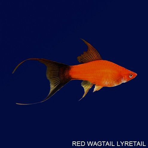 Red wag lyretail swordtail ornamental fish aquarium fish for Ornamental pond fish for sale