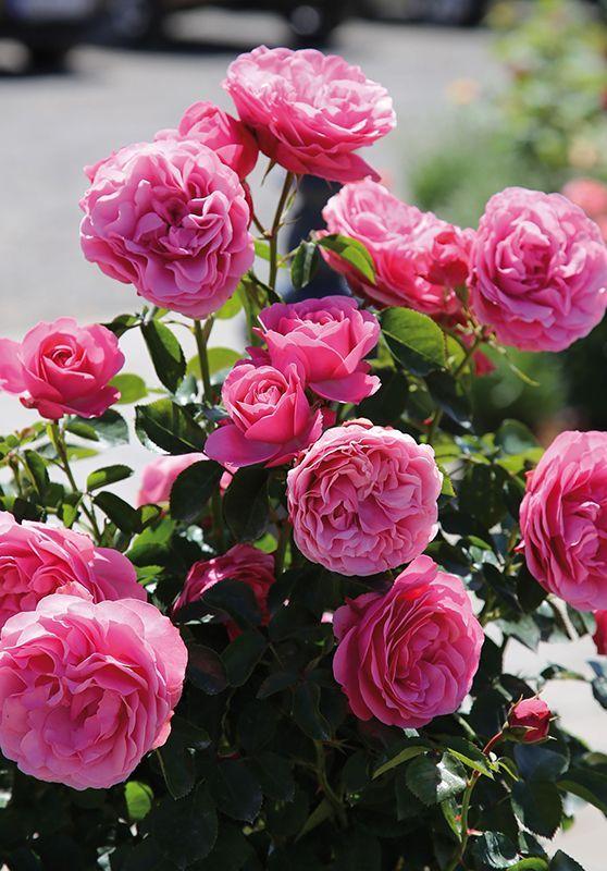 Beetrose Leonardo Da Vinci Garden Diy Beautiful Pink Flowers Beautiful Flowers Beautiful Roses