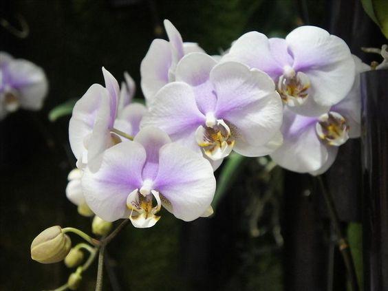 hoa lan hồ điệp,hoa lan hồ điệp tím,hoa lan hồ điệp rừng,hoa lan ...