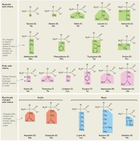 acidic amino acids groups MolecularBio \ Biochemistry Memory Kit - amino acid chart