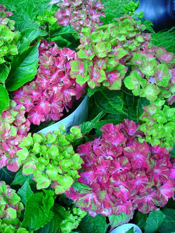 """Hydrangea 'Pistachio' New series of next generation rebloomers. From the """"Forever and Ever """" brands"""