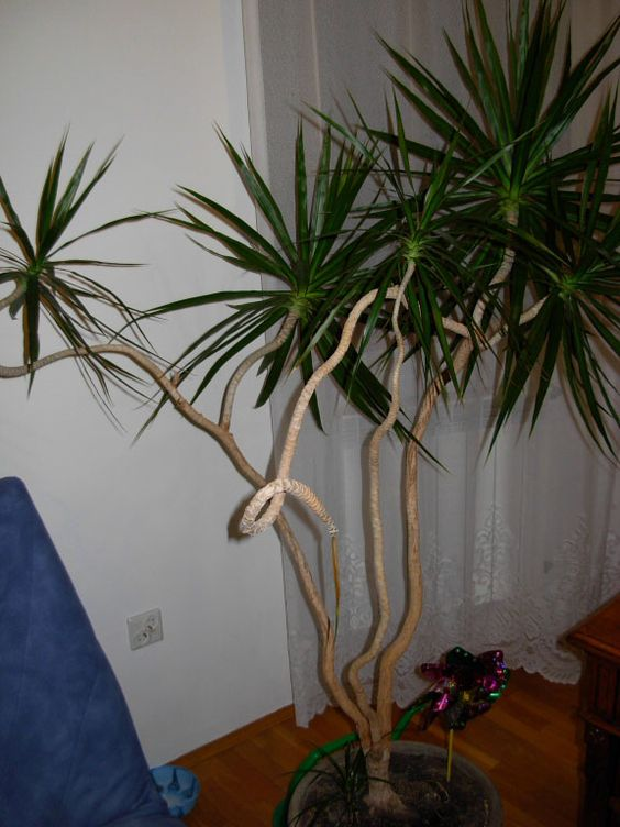 dracaena marginata tarzan which has mutiple heads as a result of been cut back previously. Black Bedroom Furniture Sets. Home Design Ideas