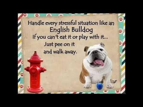 Bulldog Memes To Brighten Your Day Youtube Bulldog English
