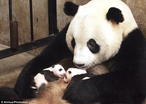 Giant Panda Twins | delight: Giant panda Lou Sheng wraps a loving arm around her twins ...