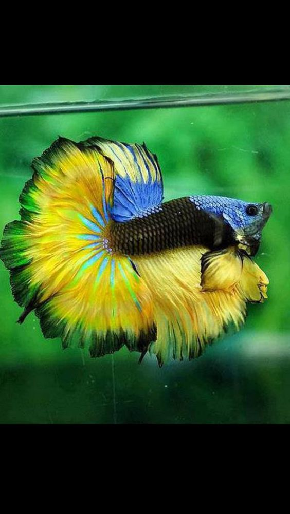 Beautiful flower and pansies on pinterest for Betta fish colors