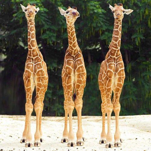 3 little giraffes :)