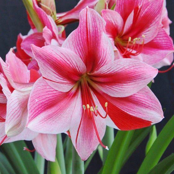 Gervase Amaryllis Bulb In 2020 Amaryllis Bulbs Amaryllis Flowers Amaryllis