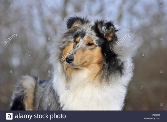 young-longhaired-collie-ERK7R8.jpg (1300×955)
