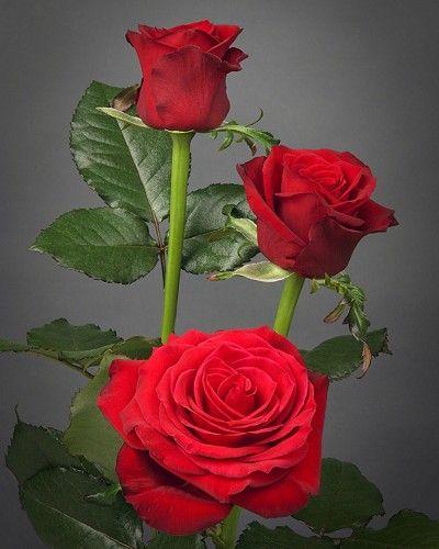 Wallpaper Setangkai Bunga Mawar Merah Bau Wallpapers Wallpaper Bunga Mawar Merah 300 Gambar Tetes Embun Bunga Bunga Gratis P Gambar Mawar Bunga Mawar Merah