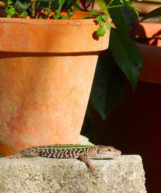 Lizard enjoying the afternoon sun