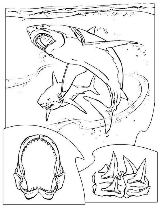 Two Big White Sharks on Hunting Coloring Page