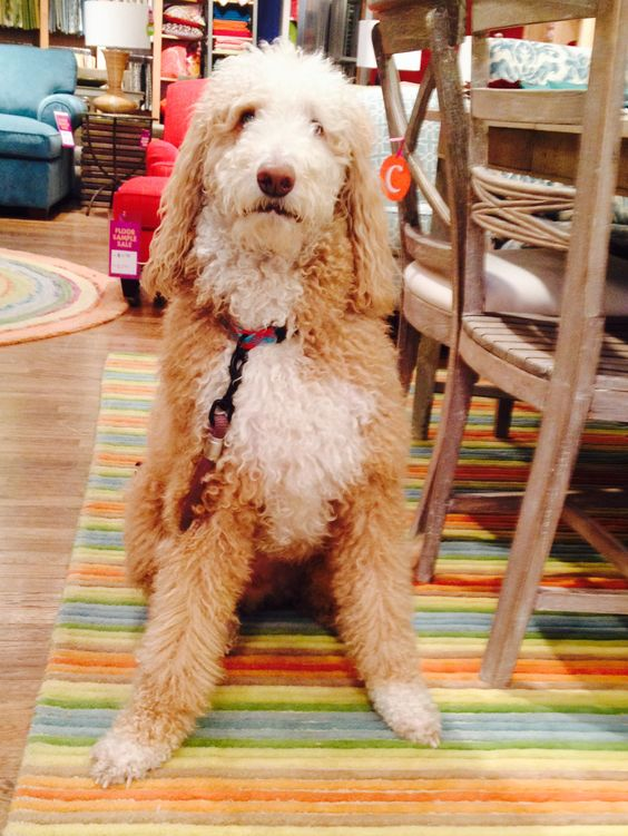Dakota visited us at our #Hingham MA store & loved our new #Spring 2015 #rug, Stripe Tease! #FurryFriends #PetsofPinterest #DogsofPinterest #Adorable #Dogs