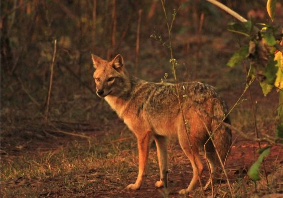 File:Indian Golden Jackal.jpg
